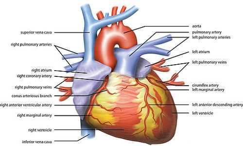 comparison of pig's heart and human heart | difference between, Human Body