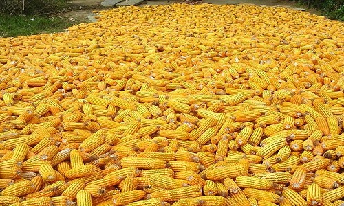 Difference Between Corn And Maize | Difference Between