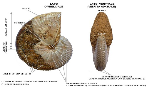 Ammonite_morphology_(Taramelliceras)