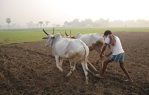 640px-Ploughing_with_cattle_in_West_Bengal