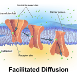 Differences Between Osmosis And Facilitated Diffusion