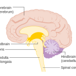 Difference Between Pons and Medulla
