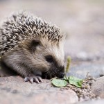 Difference Between Hedgehog and Porcupine