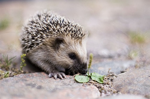 640px-Keqs_young_european_hedgehog1