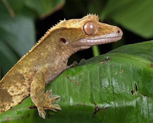 gecko-165030_640