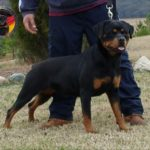 Difference between German and American Rottweilers