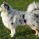 Difference Between Border Collie and Australian Shepherd-1