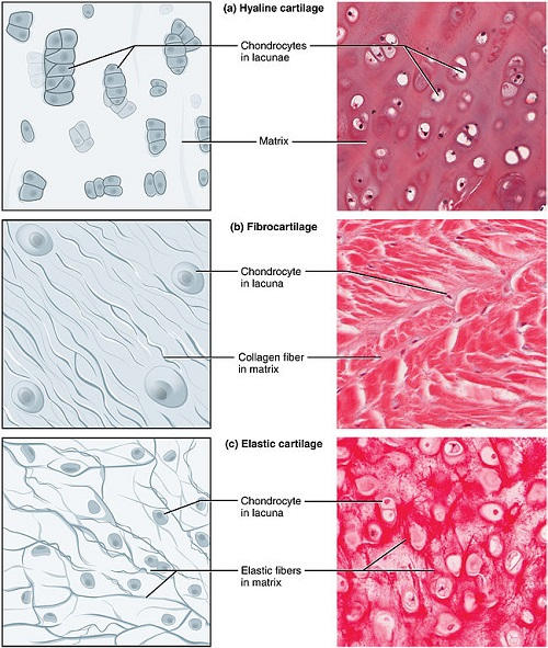 human tissue diagram difference between hyaline cartilage and elastic cartilage ... elastic tissue diagram