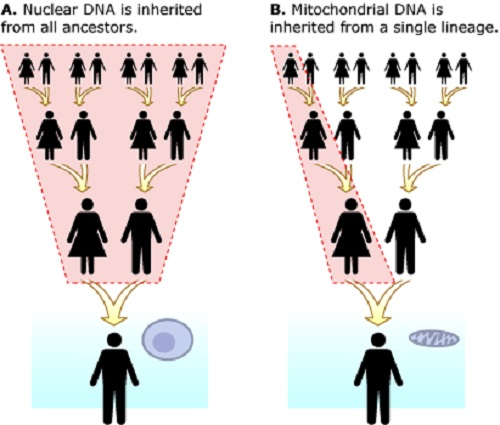 Difference between Mitochondrial DNA and Nuclear DNA-1