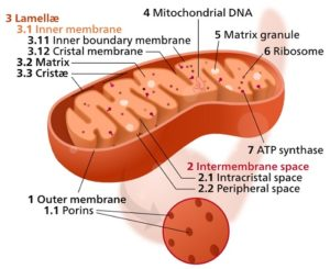 Difference between Mitochondrial DNA and Nuclear DNA