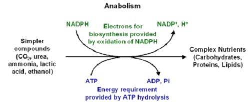 Differences between Catabolism and Anabolism-1