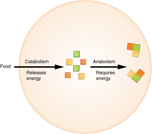 Differences between Catabolism and Anabolism-2