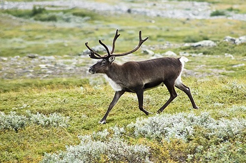 Differences Between Caribou and Reindeer-1