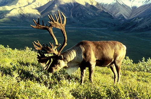 are reindeer and caribou the same animal