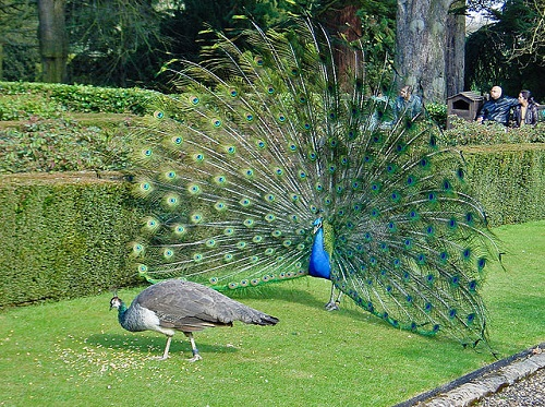 Differences Between Peacock and Peahen