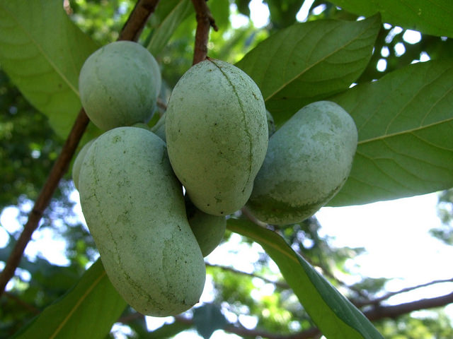 Difference Between Pawpaw and Papaya