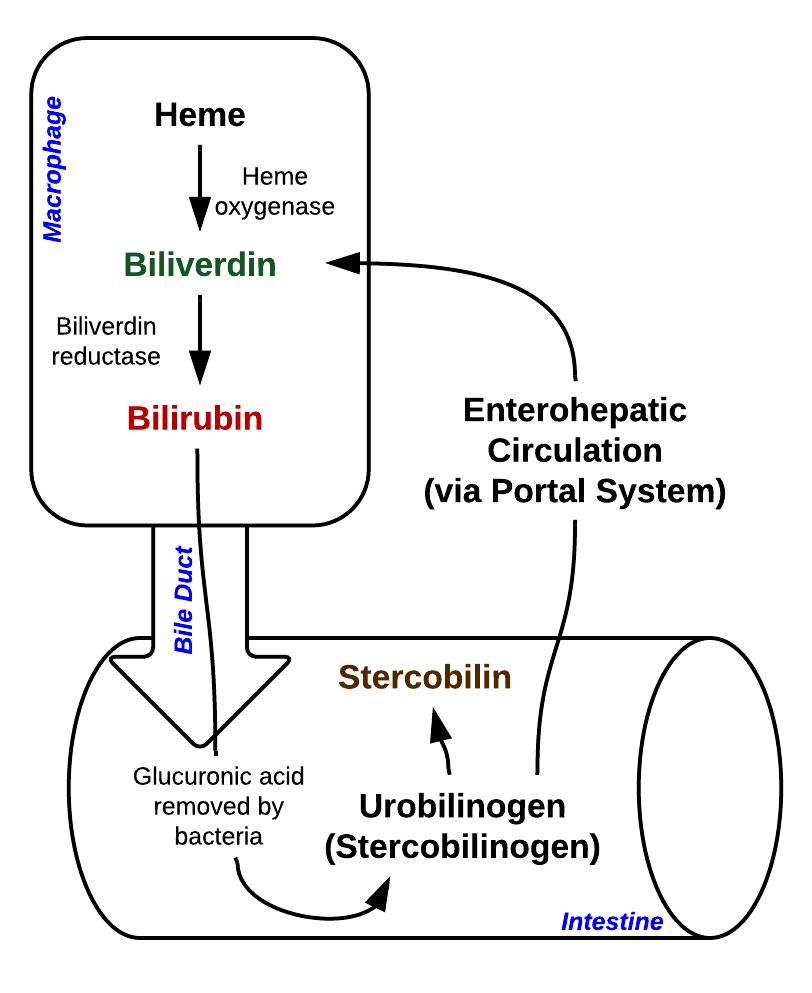 Difference Between Conjugated Bilirubin and Unconjugated Bilirubin