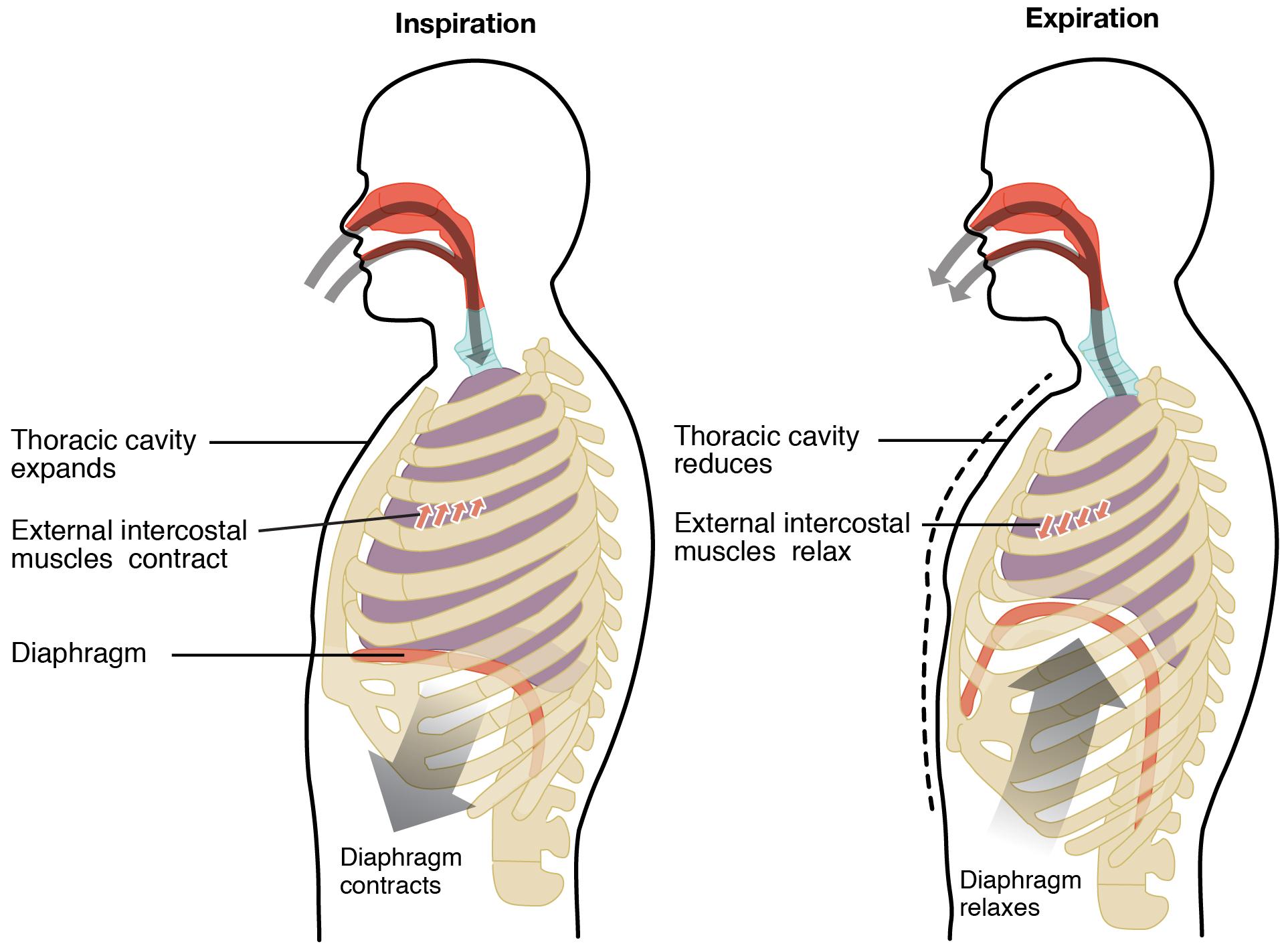 Difference Between External Respiration and Internal Respiration