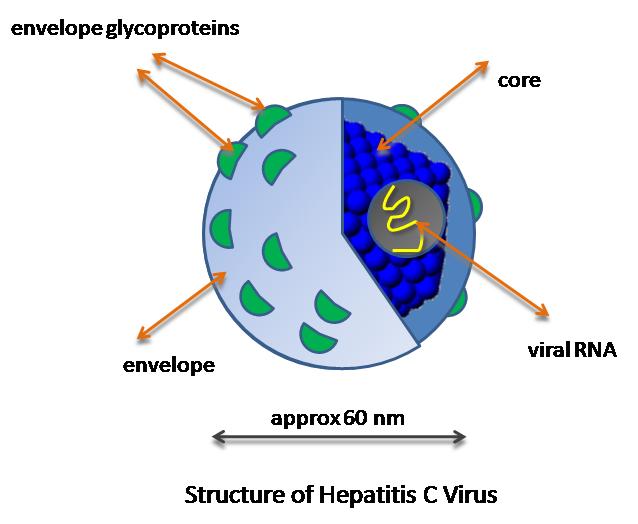 Difference Between Hepatitis B and Hepatitis C