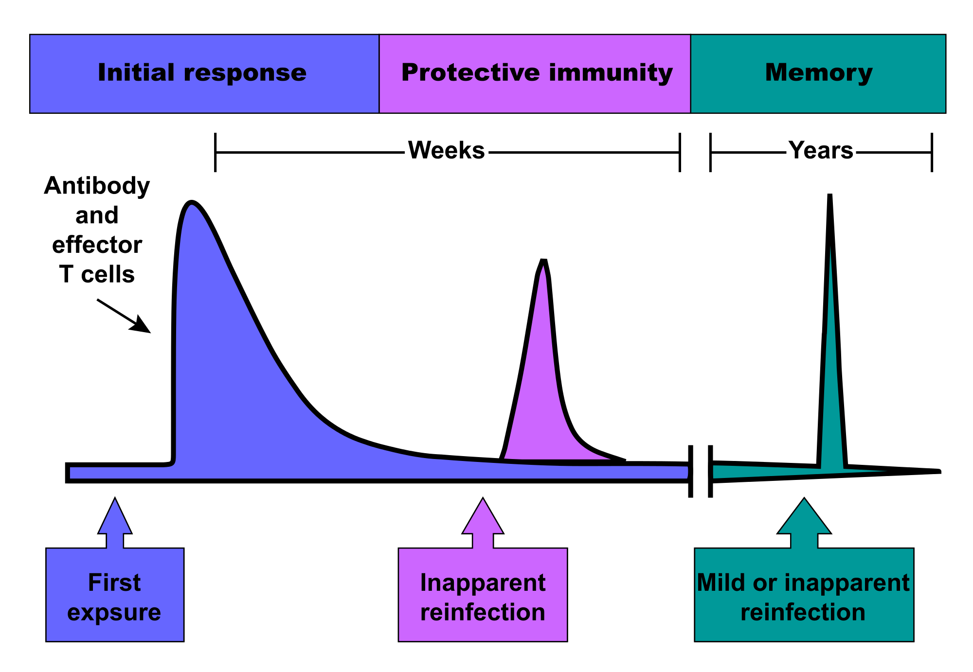 relationship between cell mediated and humoral immunity vs cellular