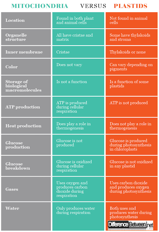 MITOCHONDRIA VERSUS PLASTIDS