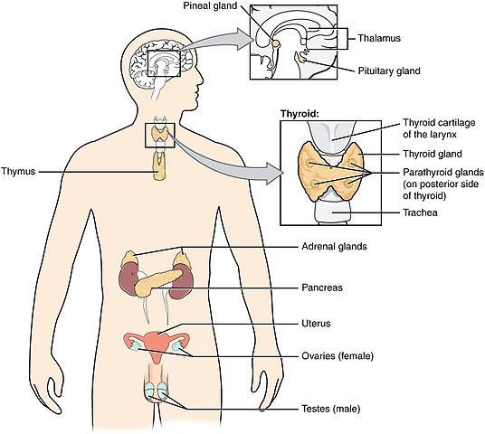 Difference Between Endocrine System and Nervous System | Difference ...