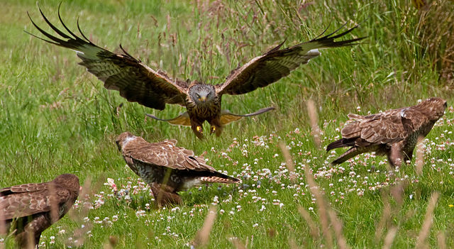 Difference Between Vultures and Buzzards