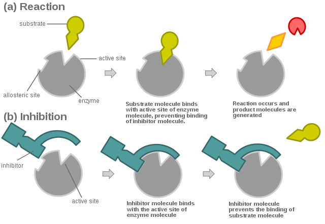 Differences Between Irreversible Enzyme Inhibitors and Reversible Enzyme Inhibitors