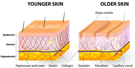 Differences between Collagen and Elastin
