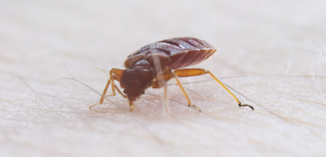 Difference Between Bedbug And Tick Difference Between Bedbug Vs Tick