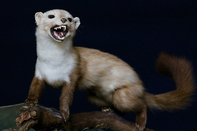 Difference Between Ferret and Weasel