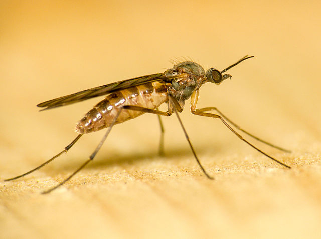 Difference Between Fleas and Gnats