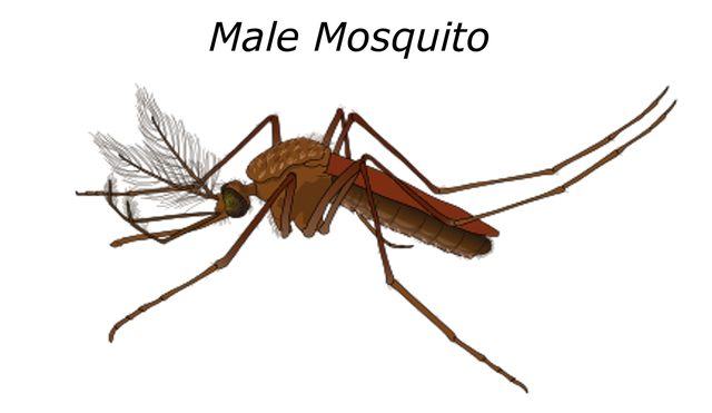 Difference Between Male and Female Mosquito