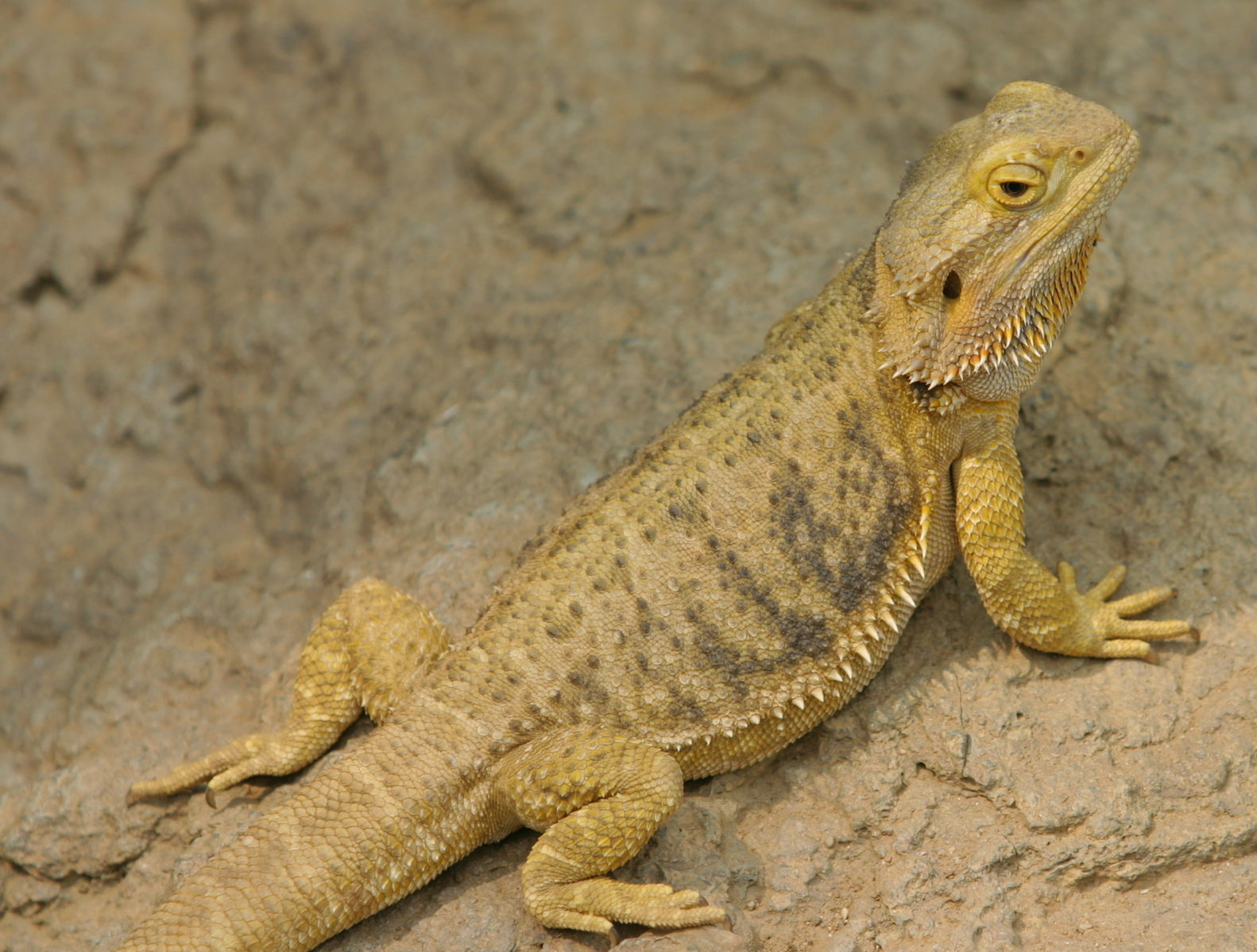 Difference Between Bearded Dragon and Fancy Bearded Dragon