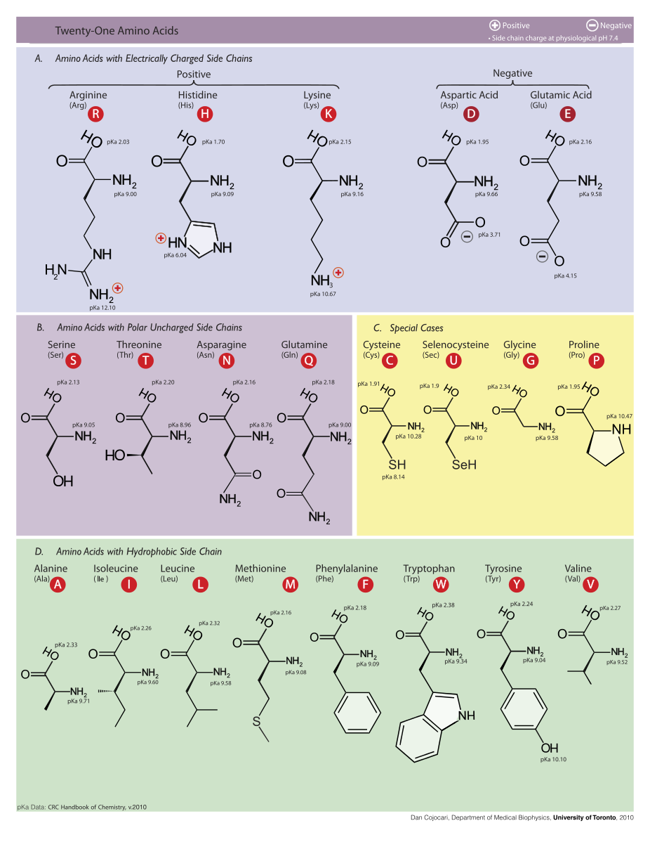 Difference Between Amino Acids and BCAA