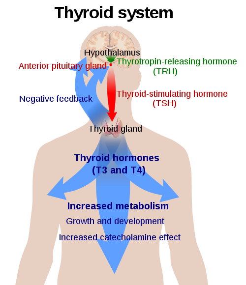 Difference Between Thyroid and Hormones