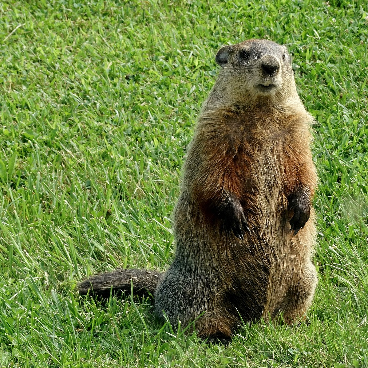 Difference Between Groundhog and Beaver