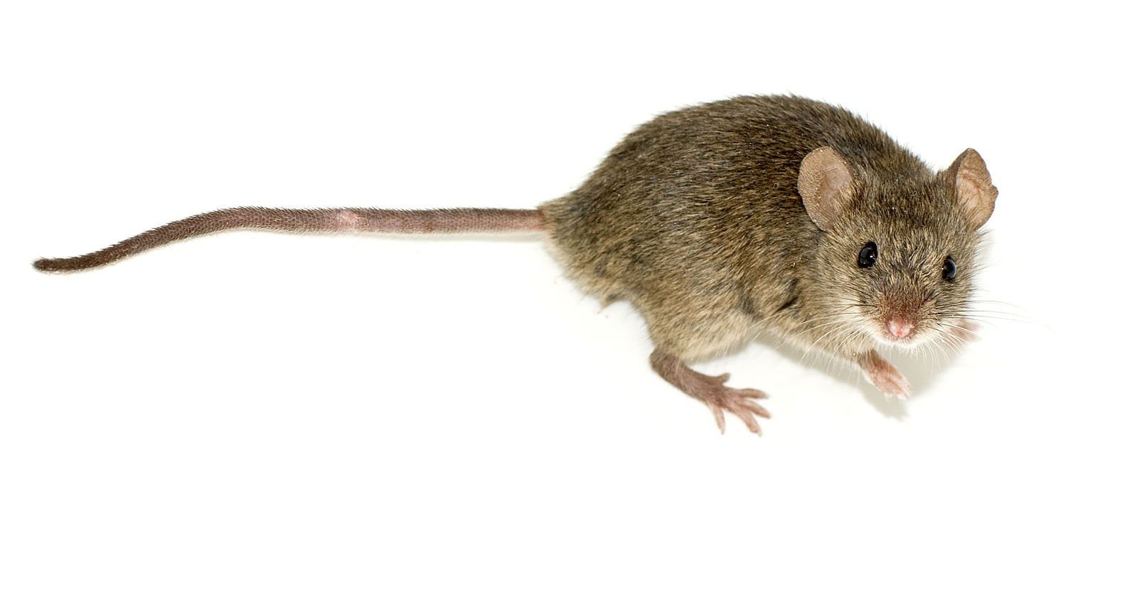 Difference Between Mouse and Rat Poop