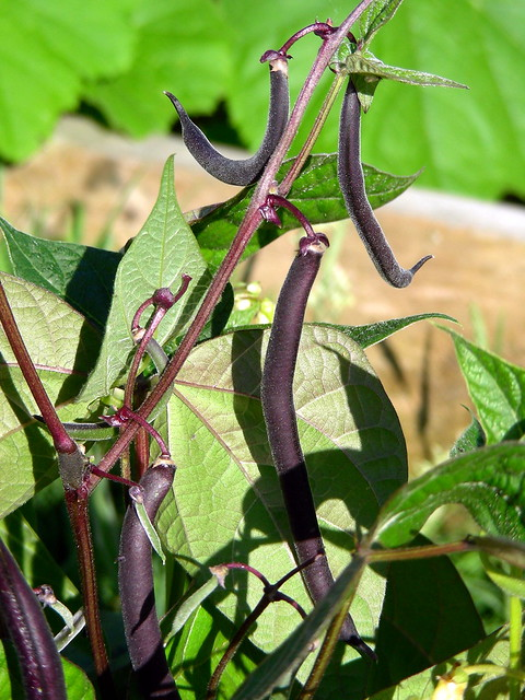 Difference Between Pole Beans and Bush Beans