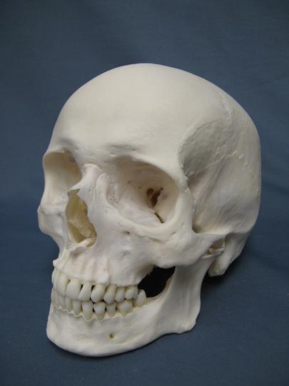 Difference Between Aboriginal Skull vs. Caucasian Skull