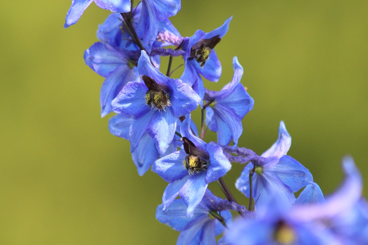 Difference Between Delphinium and Larkspur