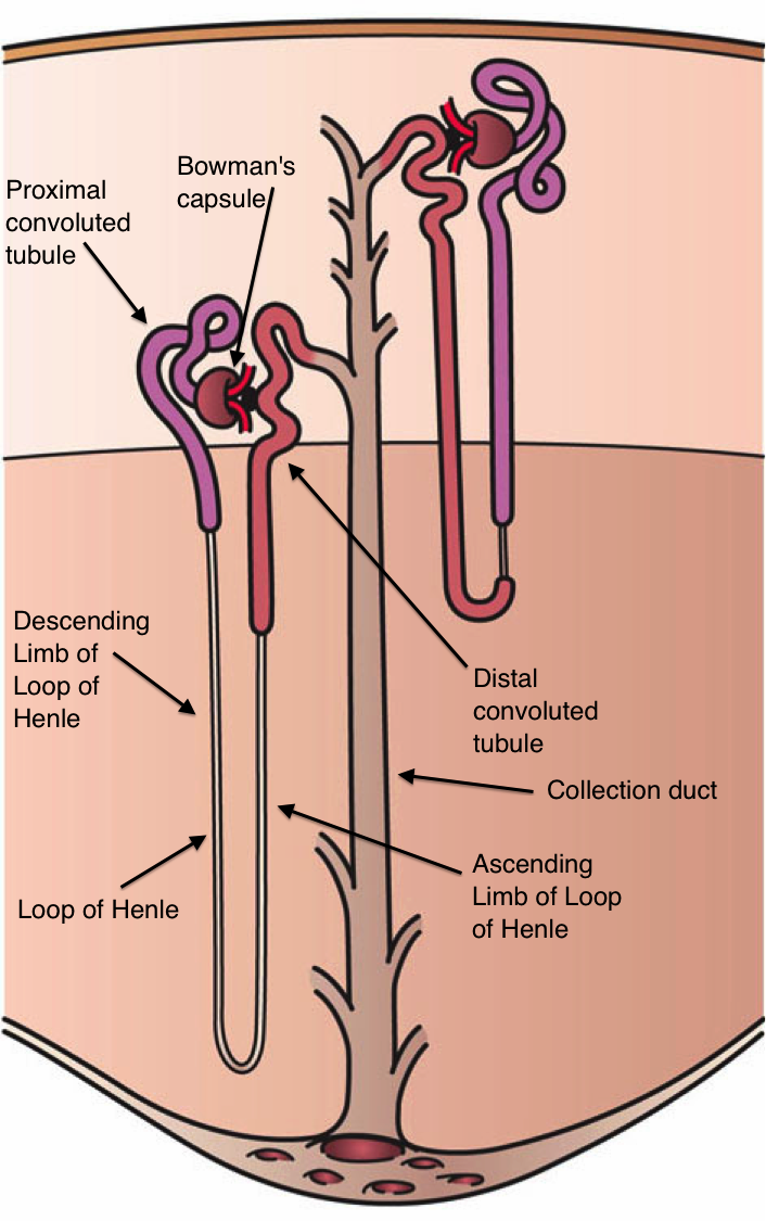 Difference Between Cortical and Juxtamedullary Nephron