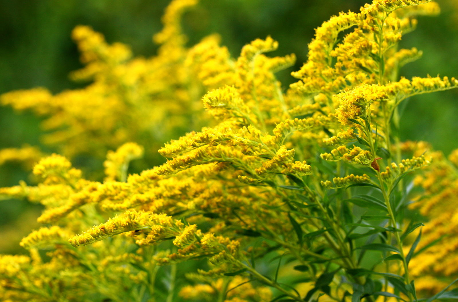 Difference Between Goldenrod and Ragweed