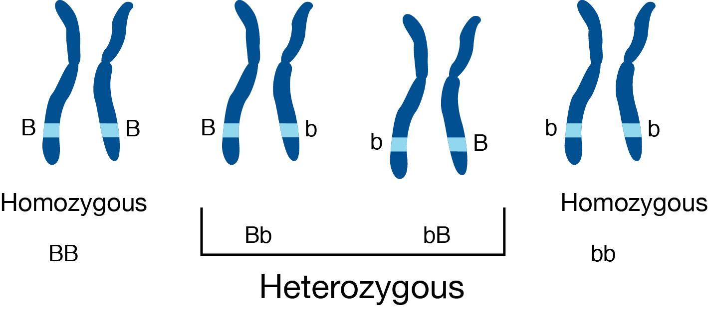 Difference Between Homozygous and Heterozygous