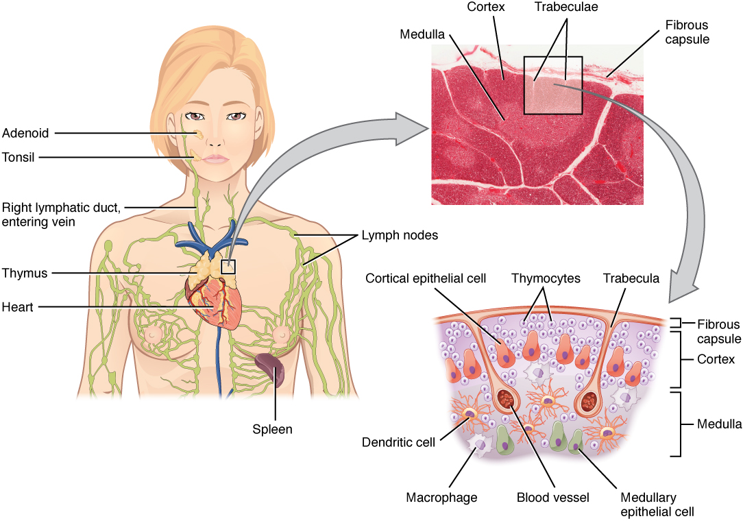 Difference Between Thyroid and Thymus