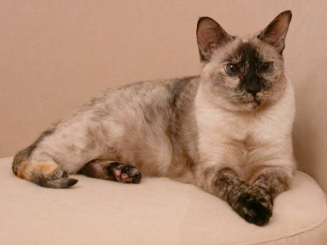 Difference Between Tortie and Calico