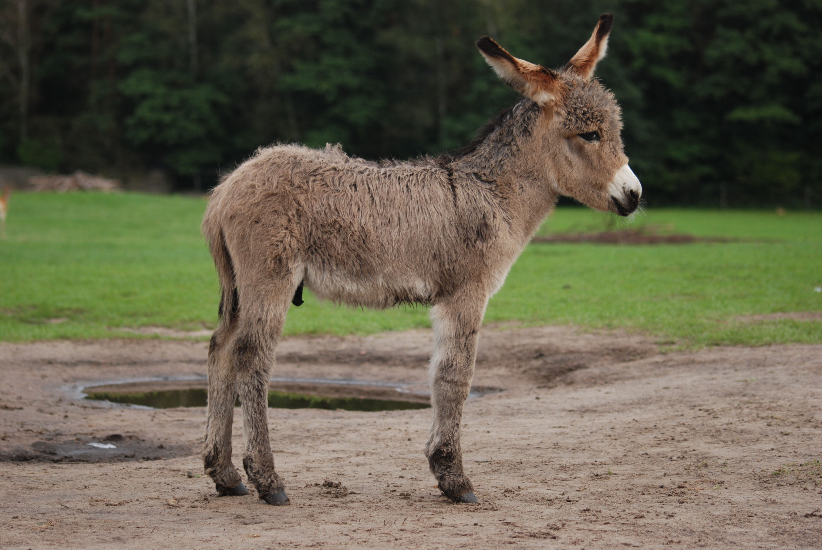 Difference Between a Donkey and a Burro