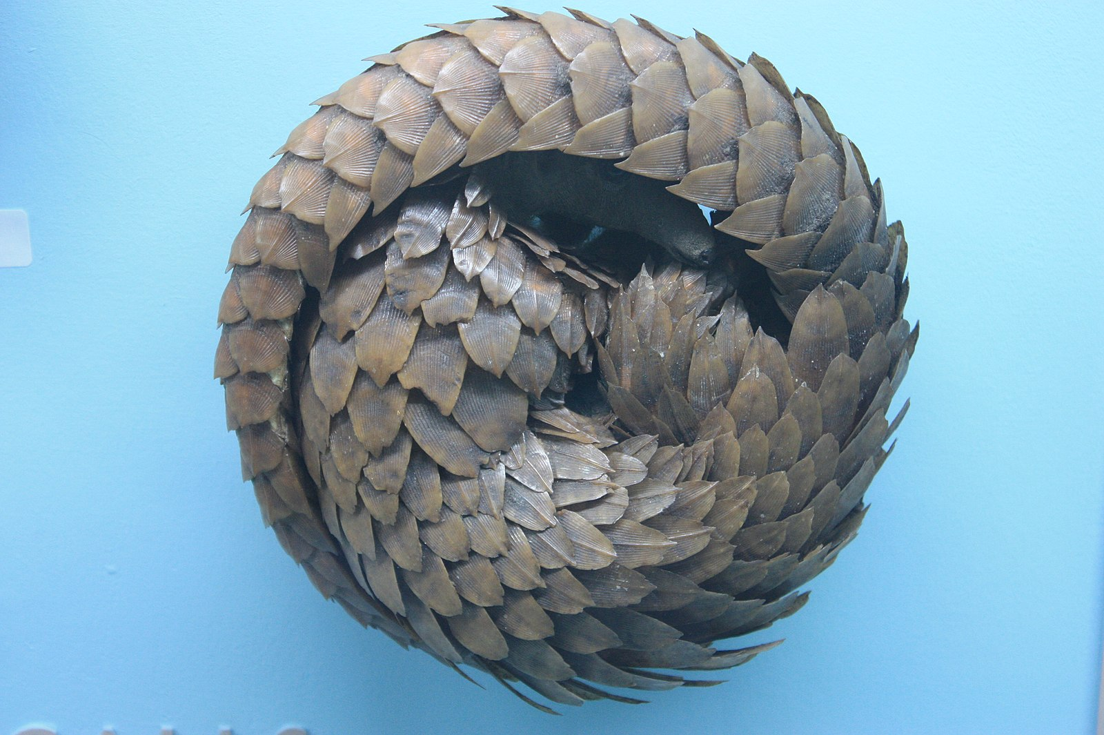 Difference Between Armadillo and Pangolin