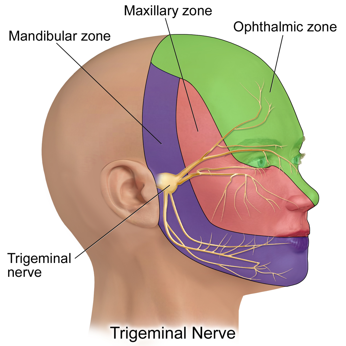 Difference Between Cluster Headache and Trigeminal Neuralgia