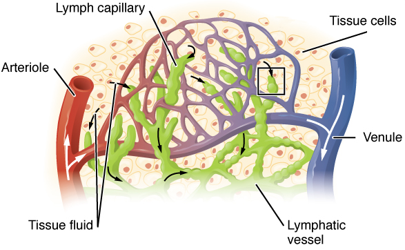Difference Between Lymphatic Capillaries and Blood Capillaries